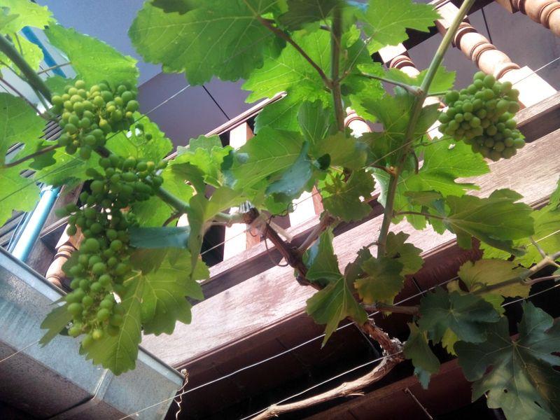 Comment tailler une vigne en pot page 9 au jardin forum de jardinage - Comment tailler la vigne ...
